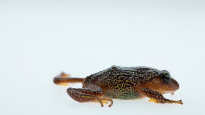 Nieuwe kikker ontdekt in Colombia