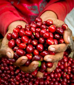 Koffieproductie in 12 maanden met 5% gestegen