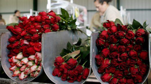 Colombia exporteert voor Valentijnsdag 500 miljoen bloemen naar V.S.