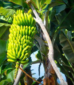 Colombia verwacht 96 miljoen dozen bananen te exporteren