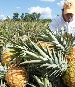 Natuurrampen geen invloed op Colombiaanse ananas productie