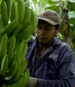 Bananenproductie in departement Magdalena stijgt aanzienlijk