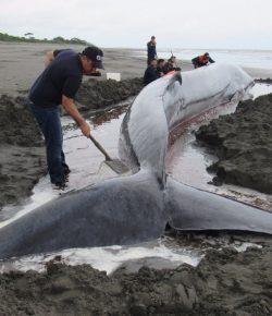 Walvis strandt op de stranden van Tumaco