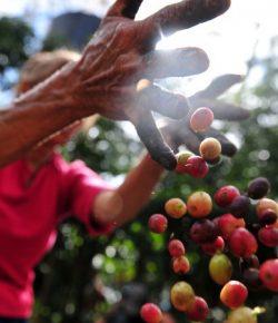 De koffieproductie in Colombia steeg in mei met 32%